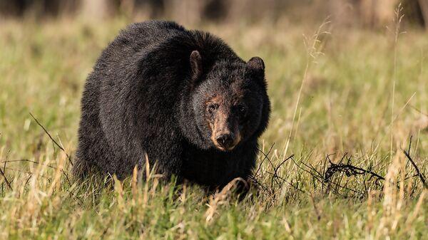 Американский черный медведь. Архивное фото.
