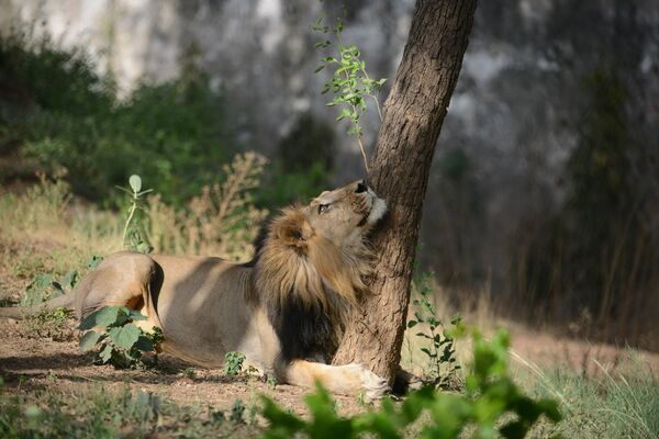 Лев в зоологическом саду Камла Неру в Ахмедабаде