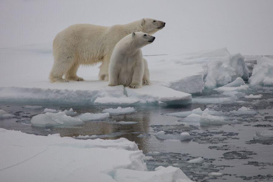 Белые медведи, Земля Франца-Иосифа, национальный парк Русская Арктика