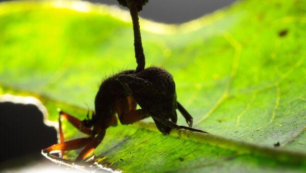 Тропический муравей-древоточец, зараженный грибком Ophiocordyceps