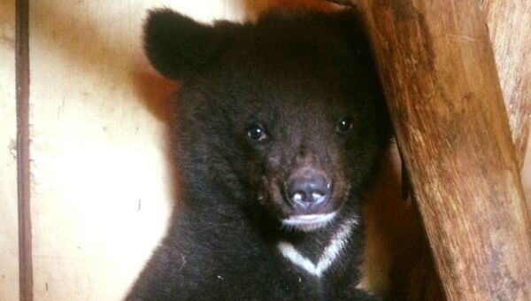 Медвежонок, обнаруженный в поселке Преображение Приморского края