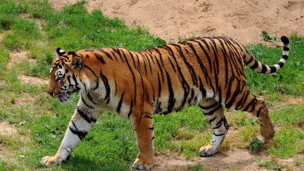В Индии убит тигр-людоед. Его ловили с помощью коз и духов ... | 338x600