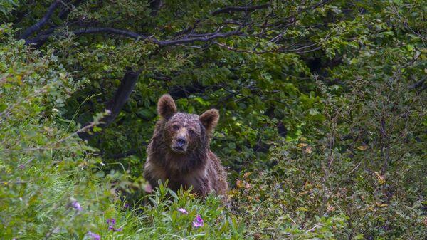 Бурый медведь в Кавказском заповеднике