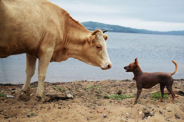 Корова и собака на берегу острова Путятина