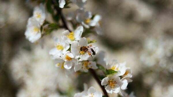 Оса на цветке черемухи