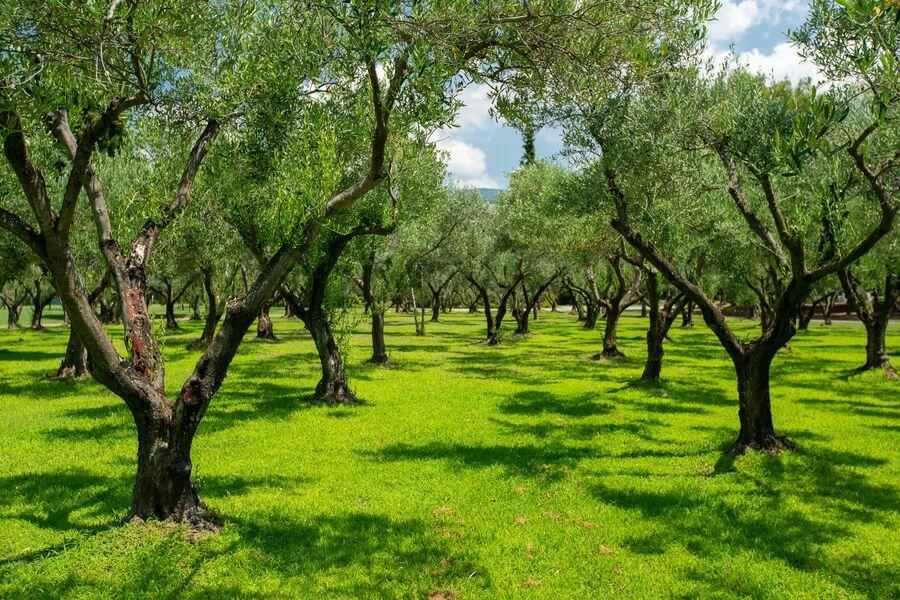 Греция. Халкидики. Оливковая роща на территории Porto Carras