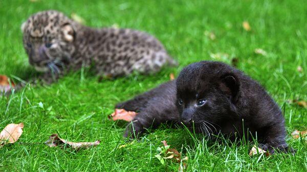 Котята пантеры и леопарда в крымском сафари-парке Тайган. 30 августа 2018