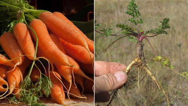 Дикая и культурная морковь
