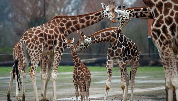 Жирафы в честерском зоопарке