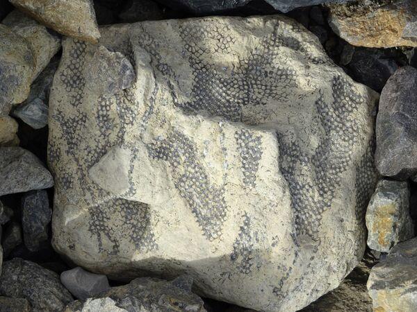 Отпечатки древней растительности на Шпицбергене