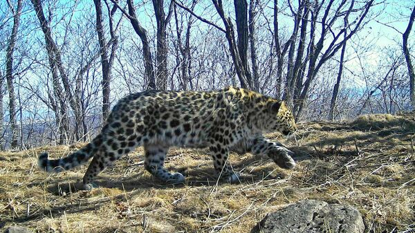 Дальневосточный леопард, зафиксированный у границы с КНДР. Архивное фото