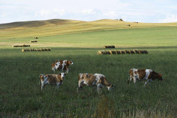 Коровы пасутся на поле у дороги в Республике Хакасия