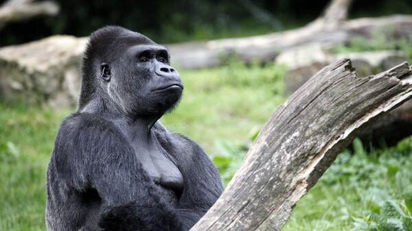 Портрет гориллы