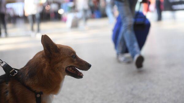 Служебная собака кинологической службы авиакомпании Аэрофлот в терминале международного аэропорта Шереметьево
