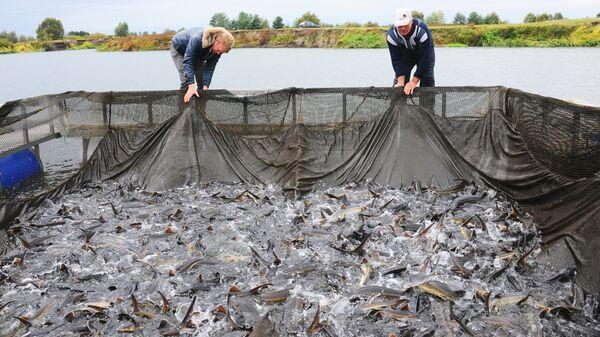 Рыбоводы производят осмотр осетра на садковой линии