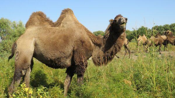 Верблюды пасутся
