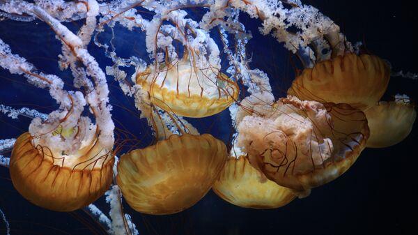 Морская крапива (Chrysaora)