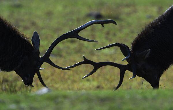 Пятнистые олени в экопарке Леопарды на Гамова в Приморском крае
