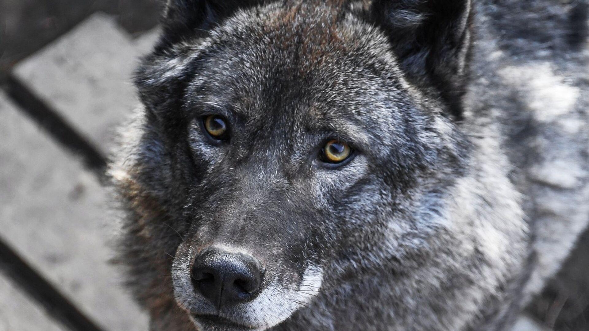 Канадский волк в вольере на территории зоопарка Садгород во Владивостоке - РИА Новости, 1920, 27.07.2021