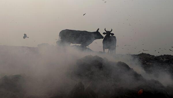 Коровы у мусорного полигона Bhalswa в Нью-Дели, Индия