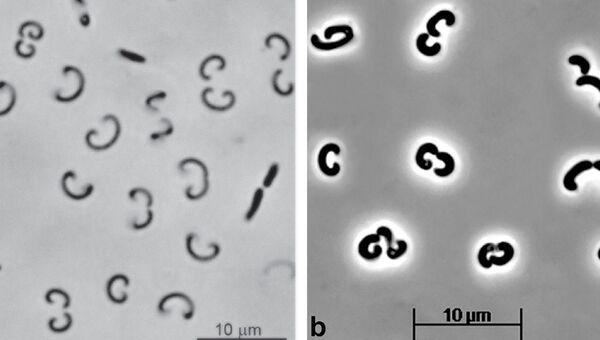 Бактерии, найденные в одном из содовых озер на Алтае