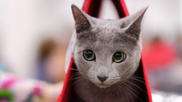 Кошка породы русская голубая на выставке КоШарики Шоу в Сокольниках