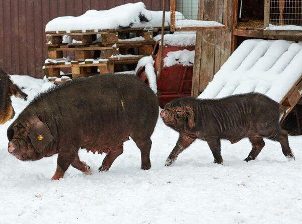 Китайские вислоухие свиньи Мейшан, одна из древнейших пород свиней, на ферме по разведению редких пород свиней в Ленинградской области