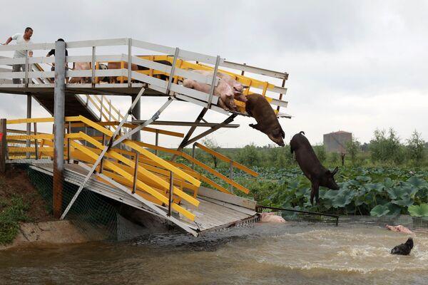 Свиньи прыгают в пруд в Шэньяне, Китай