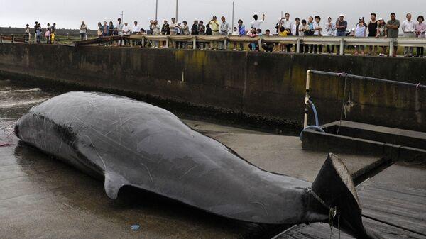 Выловленный кит в порту Вада недалеко от Токио