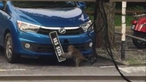 Обезьяна ворует автомобильный номерной знак, Малайзия
