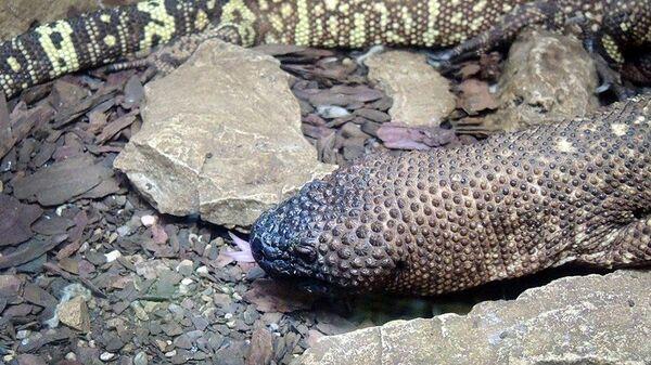 Мексиканский ядозуб в Московском зоопарке