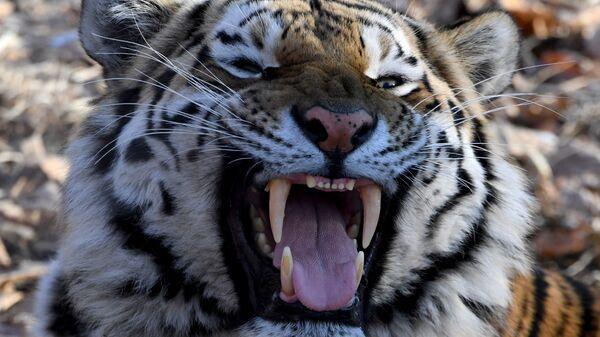В приморской тайге тигр напал на человека