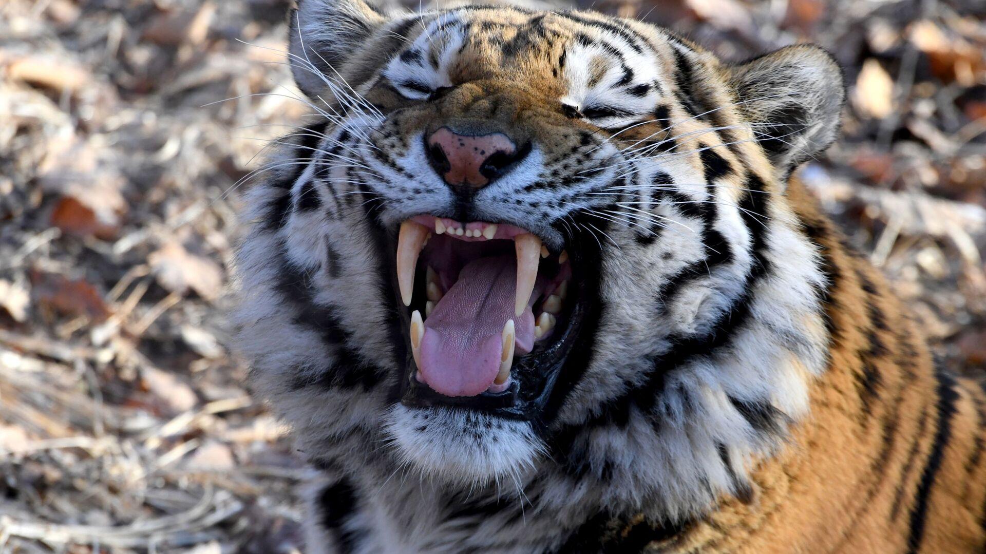 Тигр Амур в Приморском сафари-парке - РИА Новости, 1920, 13.11.2020