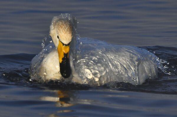 Лебедь-кликун зимует на Лебедином озере, расположенном на территории государственного природного комплексного заказника Лебединый в Алтайском крае