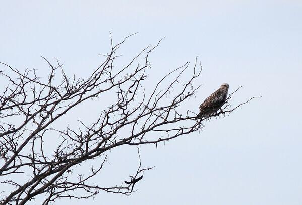 Сокол Сапсан на ветке дерева в Краснодарском крае
