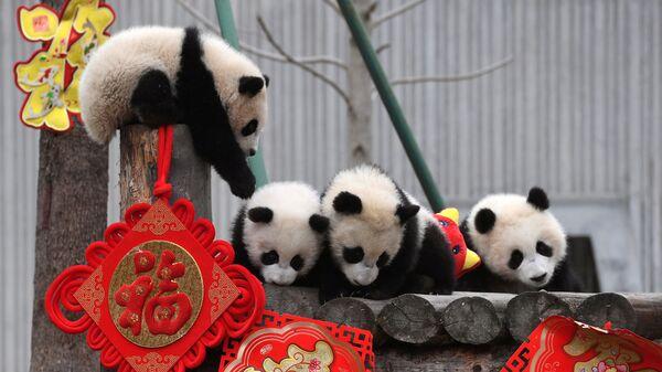Большие панды играют во время мероприятия, посвященного празднованию китайского лунного Нового года в центре панд Шеньшупин в Волонге, провинция Сычуань, Китай
