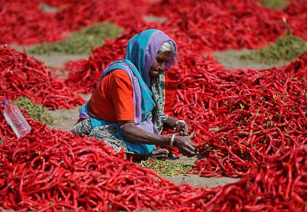 Женщина убирает стебли с красного перца чили на ферме на окраине Ахмадабада, Индия