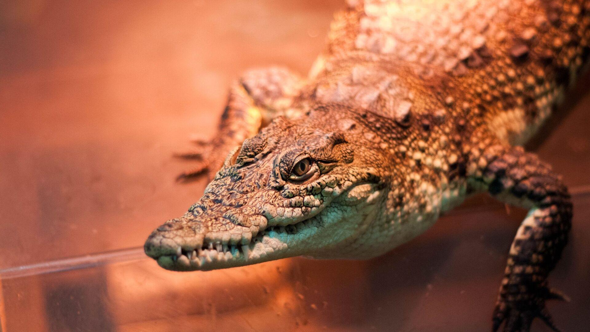 Крокодил, которого нашли на помойке - РИА Новости, 1920, 08.07.2020