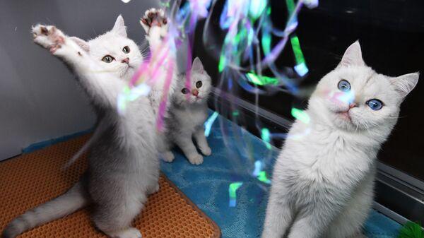 Кошки породы британская на выставке котят Любимчик в галерее Мир кошек в Москве