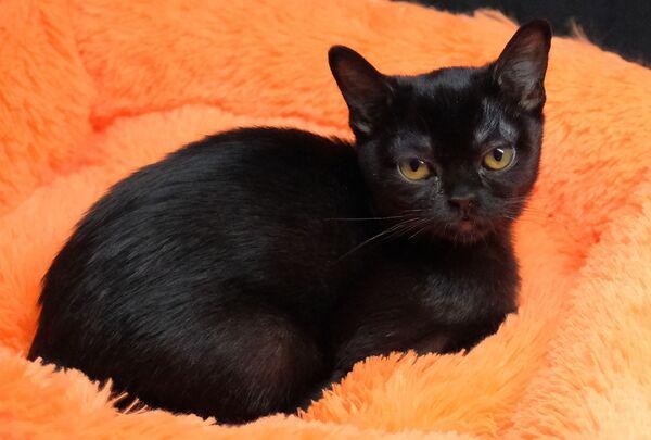 Кошка породы бомбейская на выставке котят Любимчик в галерее Мир кошек в Москве