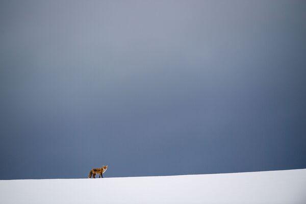 Лиса на заснеженном поле в Эркенболлингене, Германия