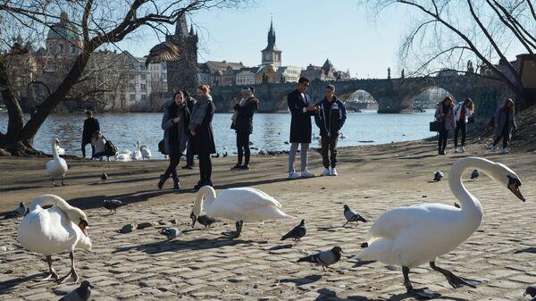 Лебеди на набережной в Праге