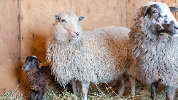 Овцы на Городской ферме на ВДНХ