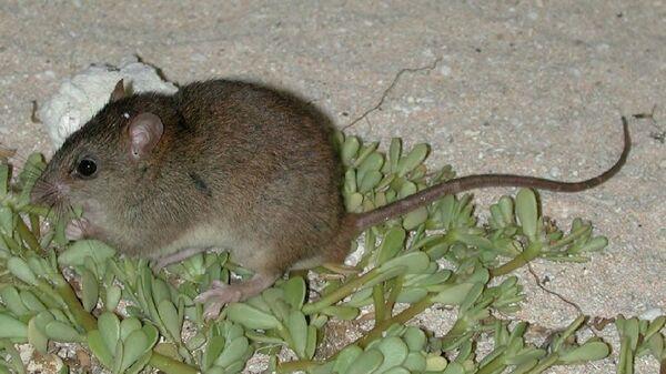 Австралийская рифовая крыса стала первой официальной жертвой глобального потепления
