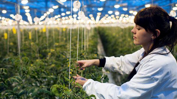 Сотрудница агрофирмы в теплице, где выращивают томаты