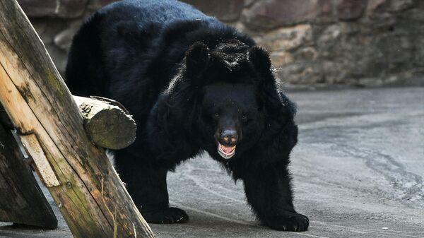 Гималайский медведь в Московском зоопарке