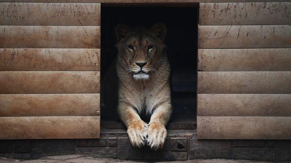 Львица в подмосковном центре передержки животных