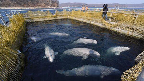 Белухи в вольере Центра адаптации морских животных в бухте Средняя Приморского края