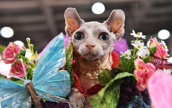 Кошка породы эльф в костюме Дюймовочки участвует в конкурсе Кошка в одежке на выставке Кэтсбург
