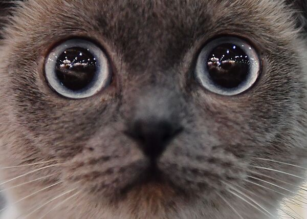 Кошка породы скоттиш-фолд (шотландская вислоухая) на выставке Кэтсбург